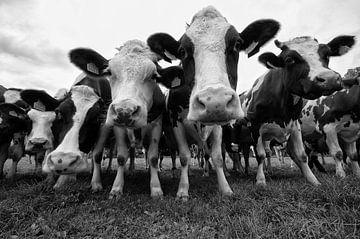 Koeien in zwart wit van Brecht Nolmans