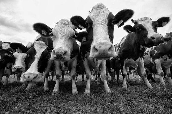 Koeien in zwart wit
