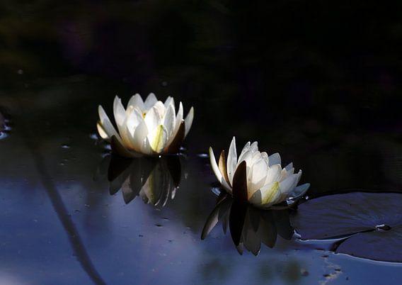 Waterlilies in the moonlight