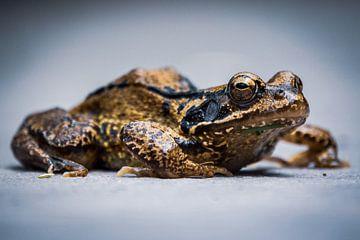 Goldkröte von Jayzon Photo