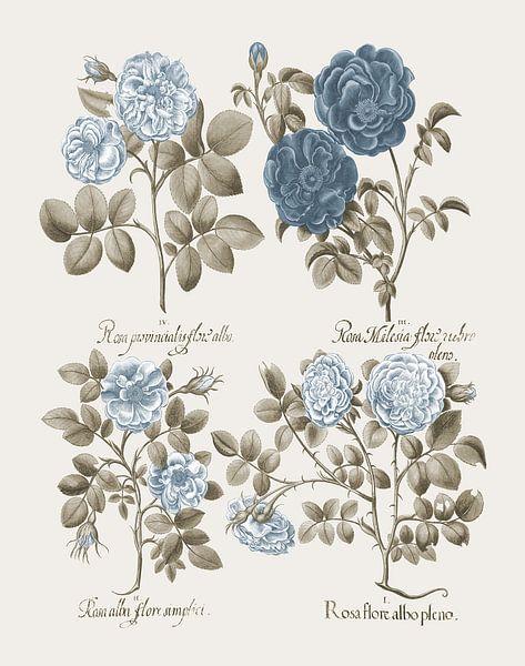 Basilius Besler-Krautrose Provincis-Rose Apothekerrose et al von finemasterpiece