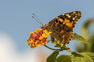 Vlinder op oranje bloemen van Marc Heiligenstein