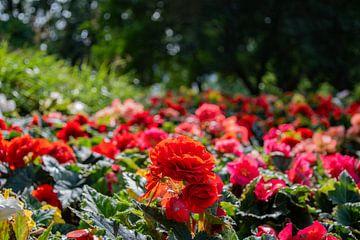 De rode bloemenweide van Joerg Keller