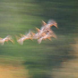 Ganzen in vlucht van Hans Debruyne