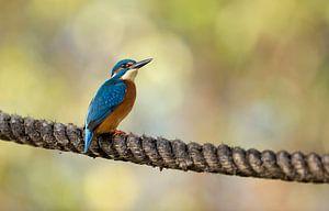 IJsvogel in Herfst kleur op touw