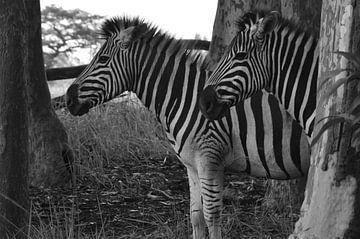 Zebra's zij aan zij van