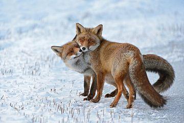 Rode vos ( Vulpes vulpes ), twee vossen die samen knuffelen in sneeuw en ijs, wilde dieren, Europa. van wunderbare Erde
