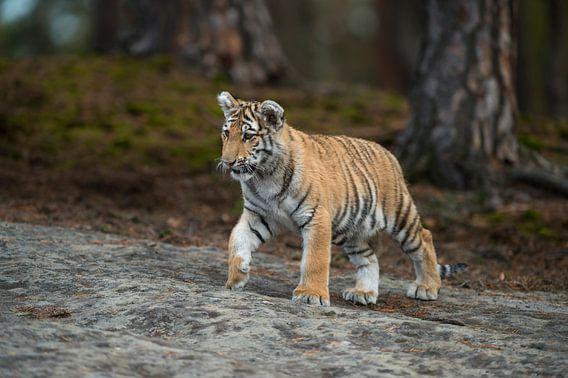 Royal Bengal Tiger ( Panthera tigris ), walking over rocks, on silent paws, full body, frontal side