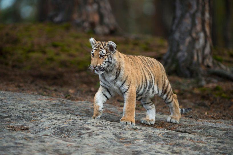 Royal Bengal Tiger ( Panthera tigris ), walking over rocks, on silent paws, full body, frontal side  van wunderbare Erde