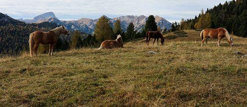 Haflinger paarden Dolomieten  van