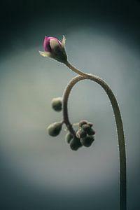 Uncurling (Drosera sp.)