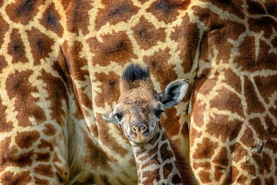 veilig bij mama giraf