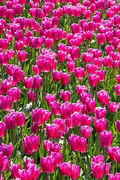 Rosa Tulpen von Amber Koehoorn
