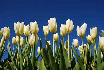 Witte tulpen, blauwe lucht von Leuntje 's shop