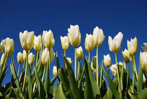 Witte tulpen, blauwe lucht van Leuntje 's shop