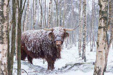 Schotse Hooglander in de sneeuw van Ans Bastiaanssen
