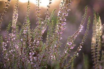 Violettes Heidekraut von Nicole Jenneskens