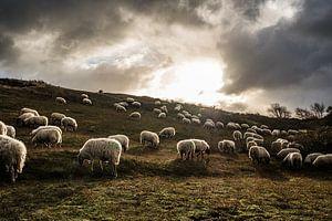 Grazende schapen met tegenlicht in de Katwijkse duinen van