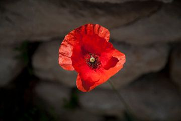 Papaver bloem in de Provence , Frankrijk  van Dirk Huijssoon
