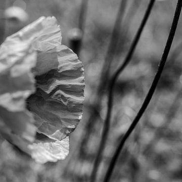 Mohnblume in stimmungsvollem Schwarz und Weiß von ellenklikt