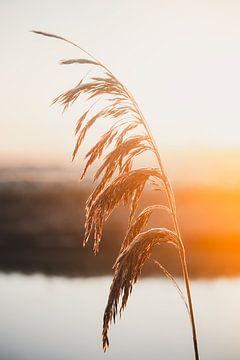 Riet bij zonsopgang in de Hollands polder van Tes Kuilboer