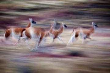 Rennende Guanaco's in het Torres del Paine nationaal park van Chris Stenger