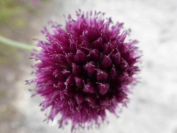 Paarse bloem von Anita Tromp