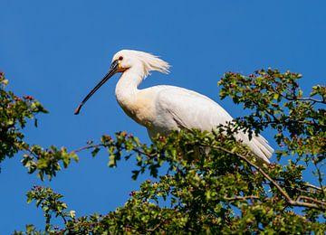 Lepelaar in een boomtop van Merijn Loch