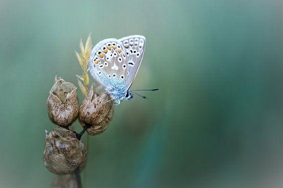 Onthaasten en genieten... (Icarusblauwtje, vlinder, zomer)