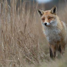 Renard roux (Vulpes vulpes), renard dans les hauts roseaux, faune sauvage, Europe. sur wunderbare Erde