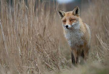 Rotfuchs ( Vulpes vulpes ), Fuchs im hohen Ried, wildlife, Europa. von wunderbare Erde