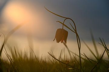Kievitsbloem in het zonlicht, het voorjaar begint zodra deze bloem zich laat zien van Michel Knikker
