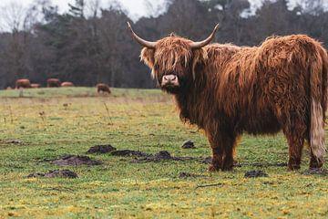 Herde schottischer Highlander mit imposanter Kuh im Vordergrund von Maarten Oerlemans