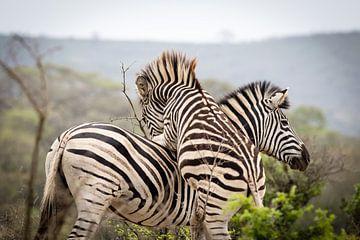 Zebra's spelen met elkaar van