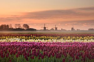 Tulpen bij zonsopkomst van