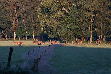 Edelherten met kalfjes in het morgenlicht.  van Evert Jan Kip