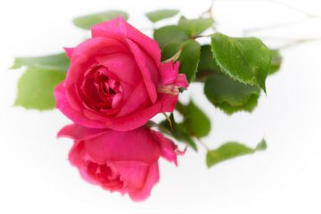 Rosa Pink Cloud van Ad Jekel