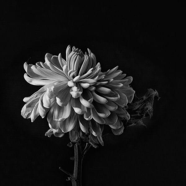 Faded Chrysant #8359 van Daan Overkleeft