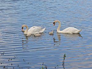 Schwanenfamilie im See