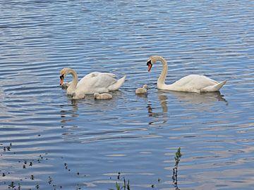 Zwanenfamilie in het meer van Kristof Lauwers