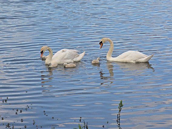 Zwanenfamilie in het meer