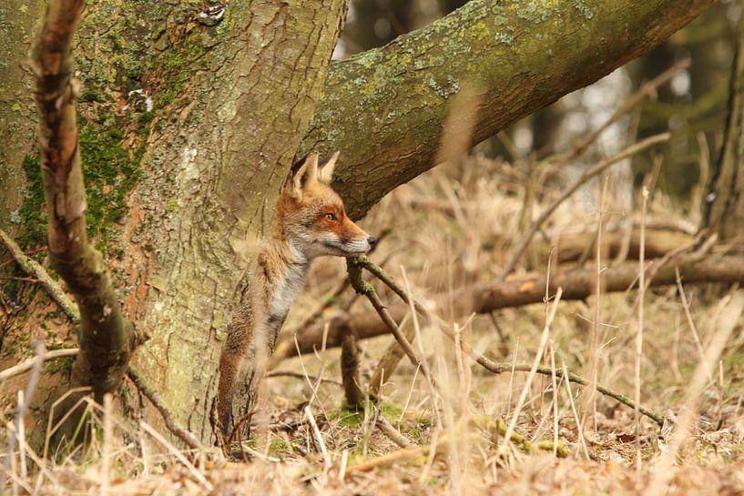 Rode vos verscholen achter een  boom van Paul Wendels