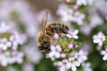 Honingbij op bloem van