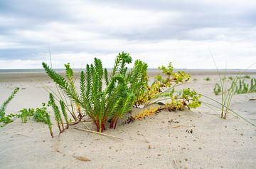 Strandpflanze von Eva Overbeeke