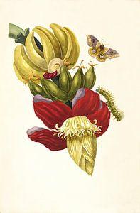 Prent van bananenplant van Botanische Prenten
