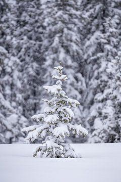 Eine kleine Fichte im Schnee von Coen Weesjes