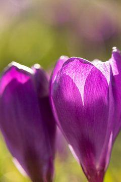 Blumenkunst   Makrofoto von Krokus, orange Staubblätter in einer Blume   Frühlingsblume   Kunstfotod von Karijn   Fine art Natuur en Reis Fotografie