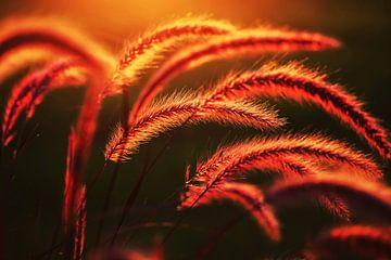Gräser im Abendlicht von Thomas Jäger