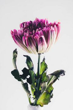 trotse bloem van