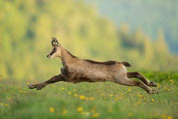 in action... Alpine Chamois *Rupicapra rupicapra* van